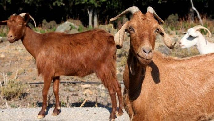 Business of Goat farming in Nigeria