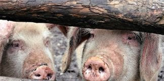 Commercial Pig farming in Nigeria