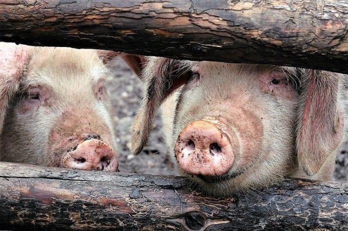 Commercial Pig farming in Nigeria