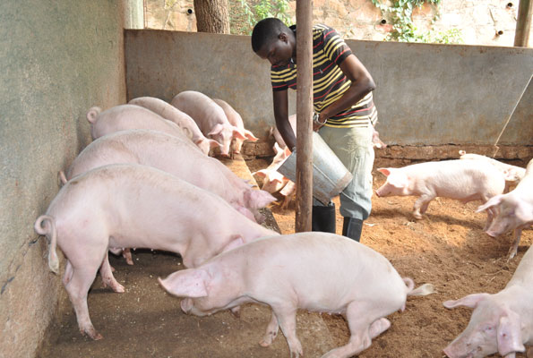 Domestic pig farming in Nigeria