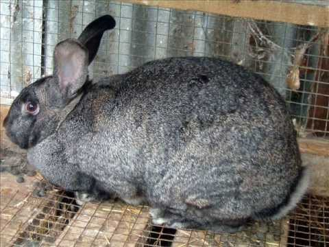 Typical rabbit breed
