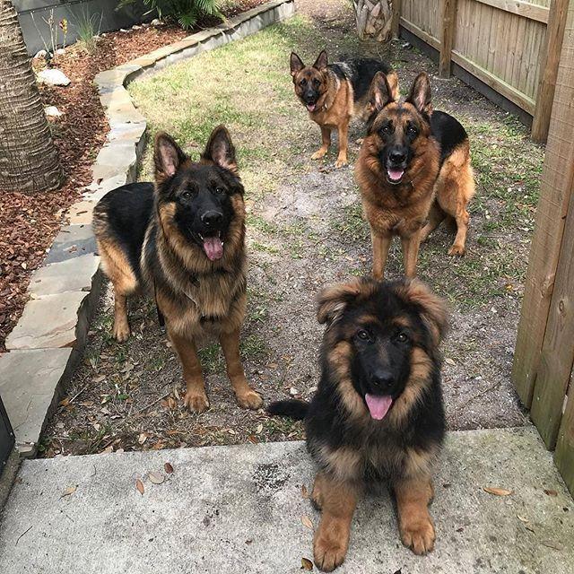 German sheperd dogs