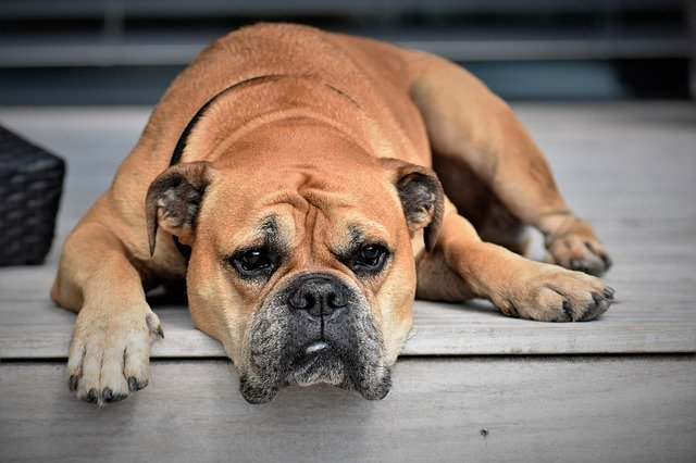 Rot dog breed