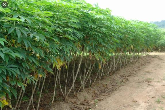 Cassava plantation on ridges