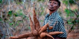 Why and how to start cassava farming in Nigeria