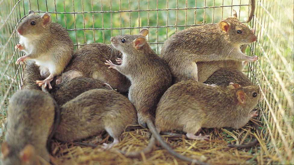 grasscutters in a cage