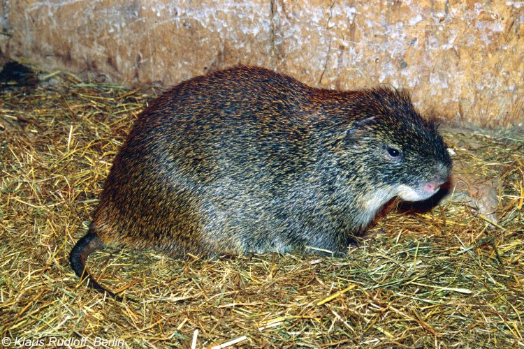 greater cane rat specie