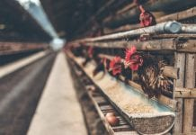 make money with Poultry farming in Nigeria for beginners
