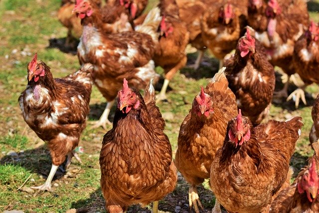 marketing and sales of poultry birds